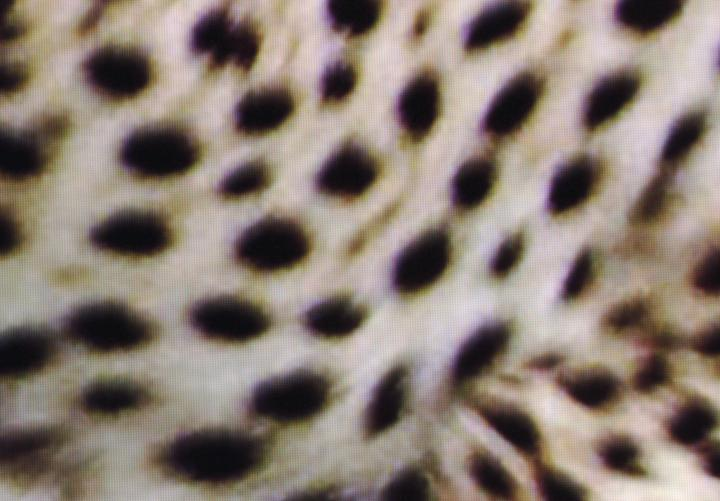 Leopard_Spots_Roku.jpg