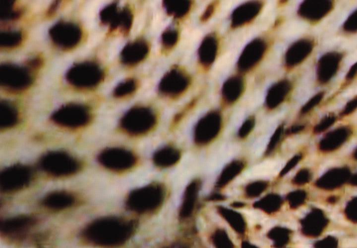 Leopard_Spots_Smart_TV.jpg