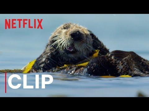 Our Planet | Otters | Clip | Netflix